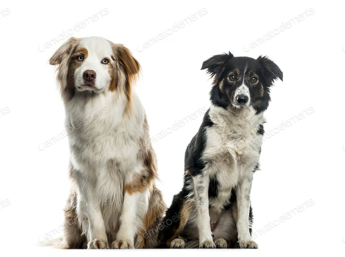 Two Border Collie dogs sitting, cut out