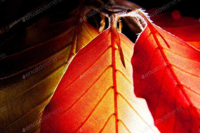 "Close-up photo of leaves of Red European Beech. Fagus sylvatica ""Purpurea"""