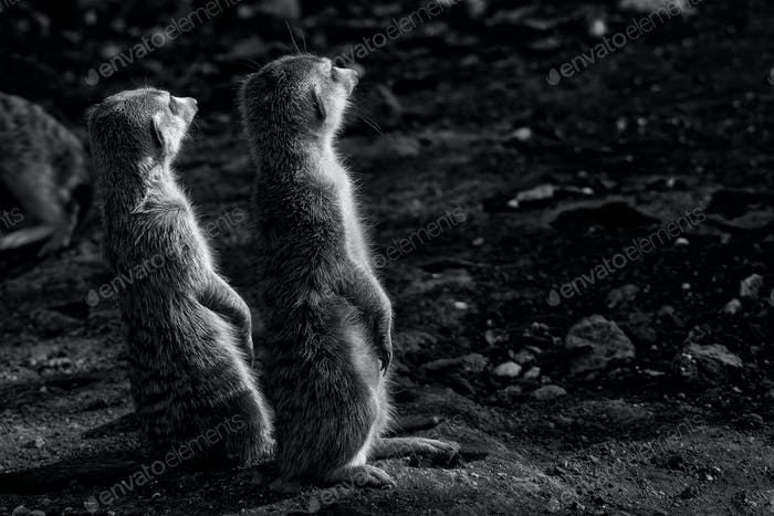 Two monochrome Meerkats