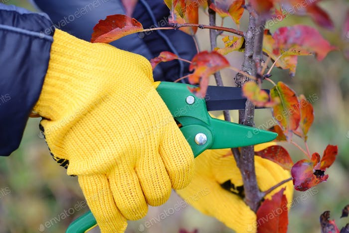 Hands with gloves of gardener doing maintenance work, pruning tr