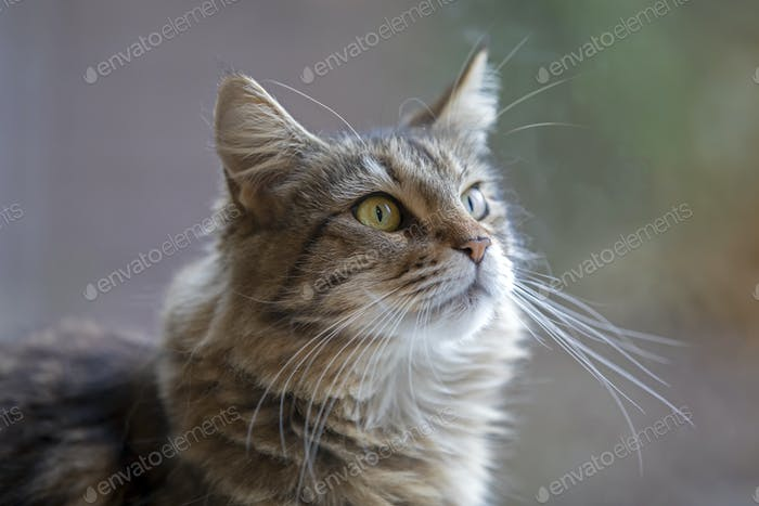 tabby domestic long-haired cat resting at home