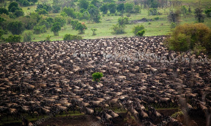 Wildebeest migration in tanzania and kenya92