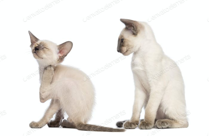 Oriental Shorthair kitten scratching while another one sitting