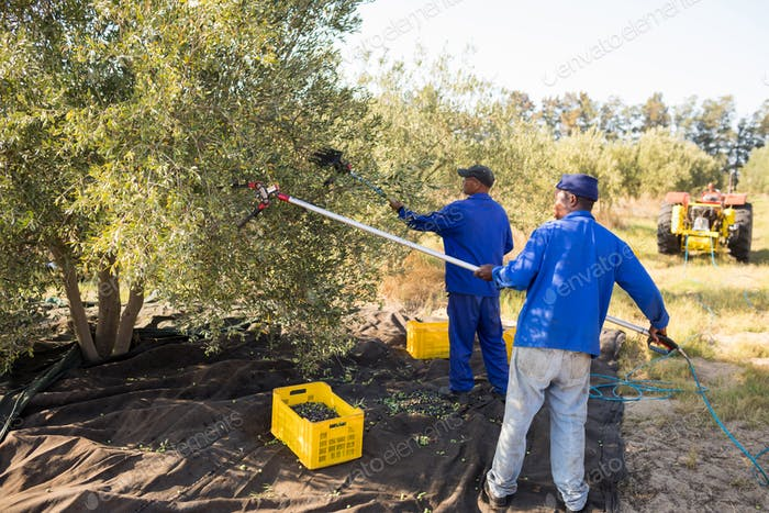 Farmers using olive picking tool while harvesting