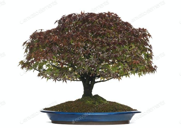 Acer Palmatum Kiyohime Bonsai Baum, isoliert auf weiß