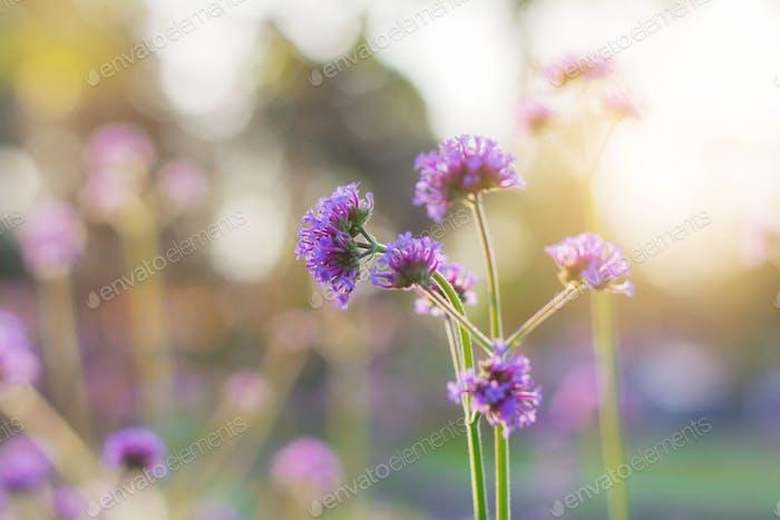 Purple flowers at sunrise