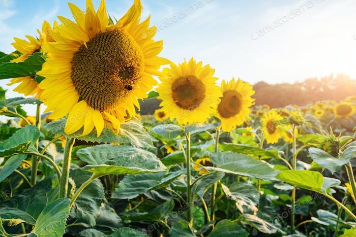 Bright yellow, orange sunflower flower on sunflower field. Beautiful rural landscape of sunflower