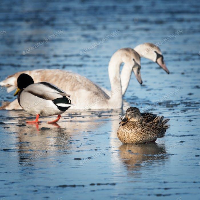 Schöne Wasservögel tummeln auf dem Eis