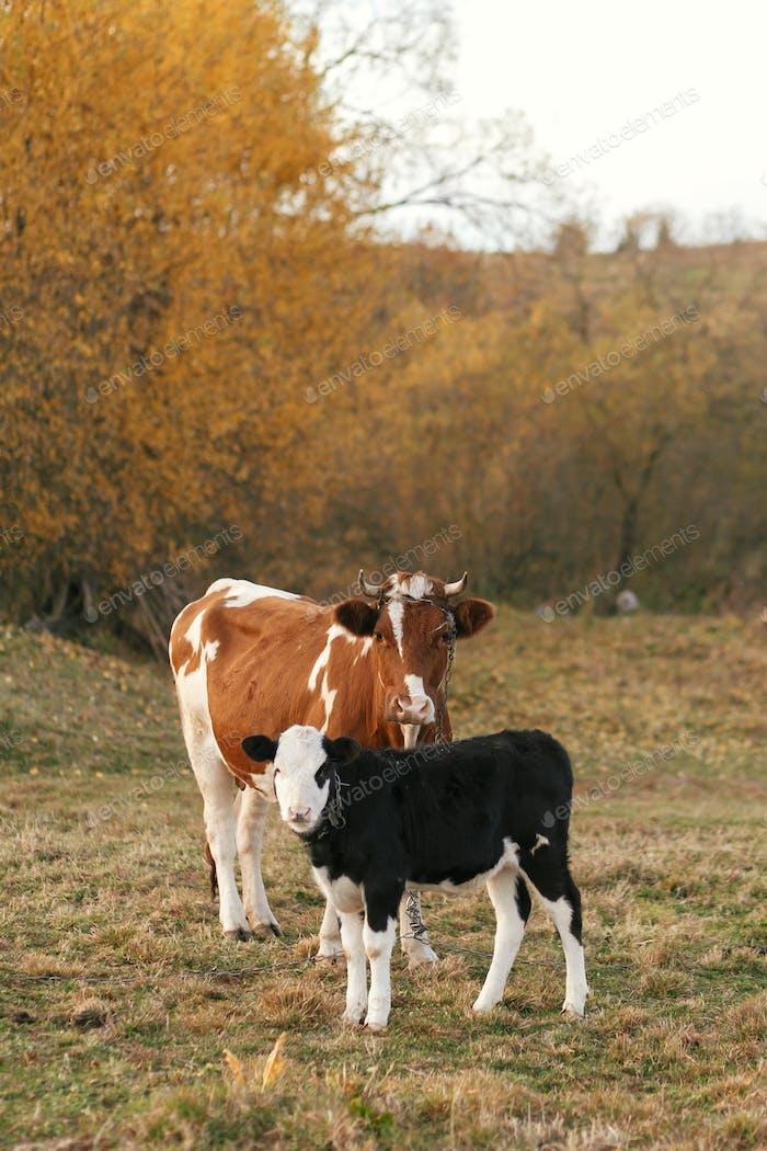 Schönes süßes schwarz-weißes Kalb stehend in der Nähe von brauner Kuh und suchen