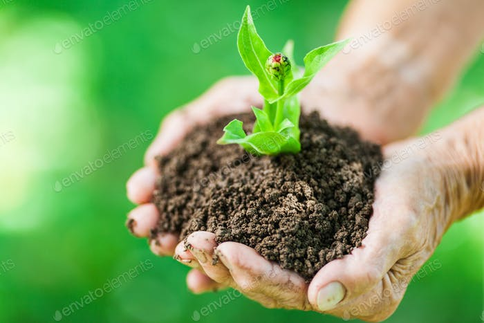 Gardening concept. Old woman holding a new plant
