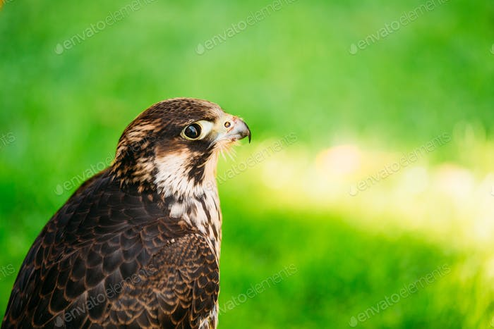 Peregrine Falcon - Falco Peregrinus, Also Known As The Peregrine