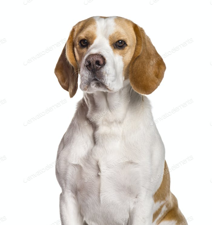 Beagle dog looking at camera against white background