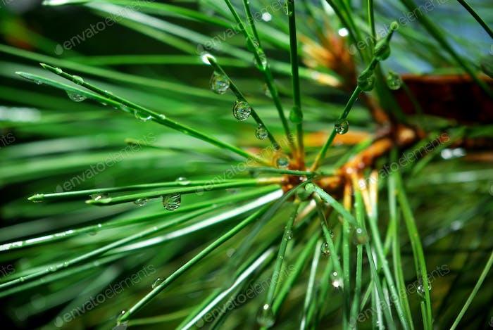 Wet spruce