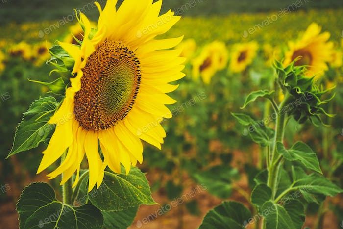 Sunflower field crops in a sunny day