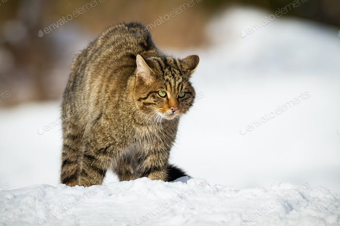 European wildcat being on alert in the middle of snowy meadow
