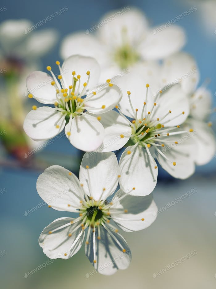 apple blossoms in sunlight