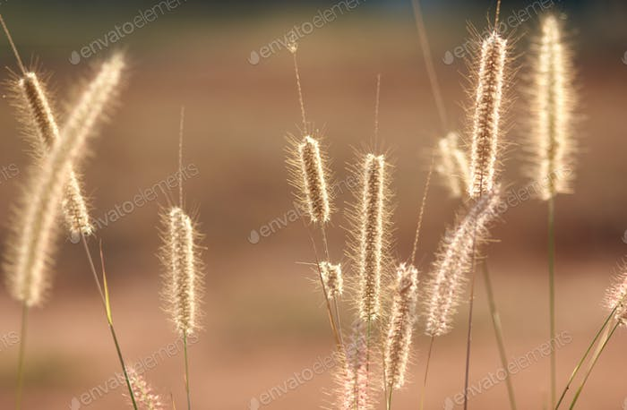 Wilted fountain grass on sunny day