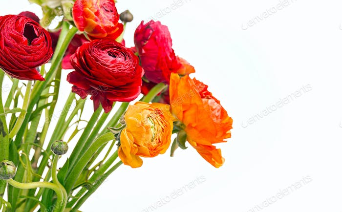 Thumbnail for Ranunkulyus bouquet of red flowers on a white background