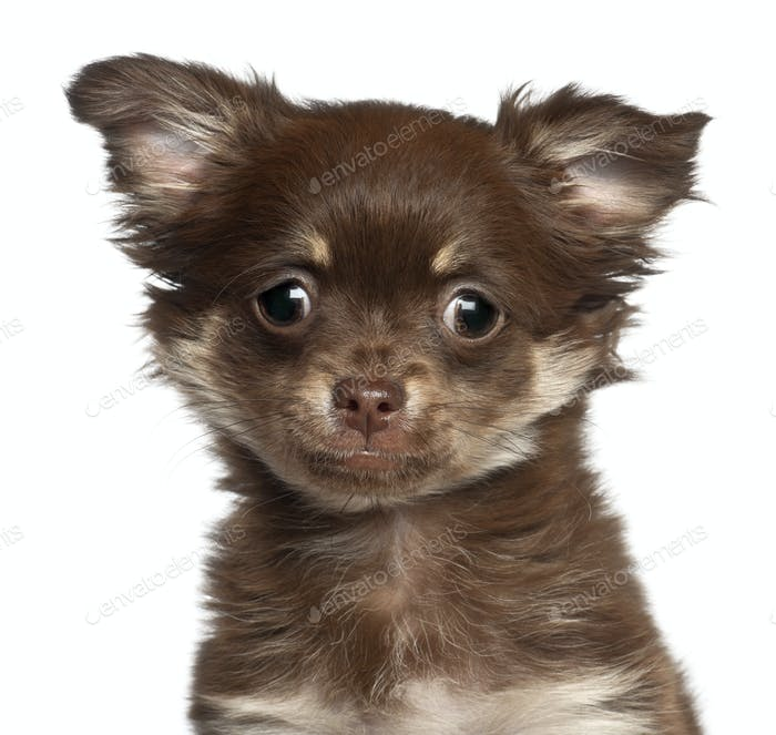 Chihuahua puppy, 3 months old, against white background