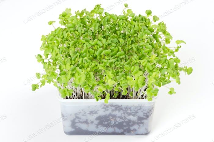 Mizuna microgreen in white plastic container
