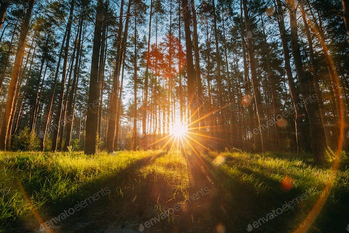 Beautiful Sunset Sunrise Sun Sunshine In Sunny Summer Coniferous