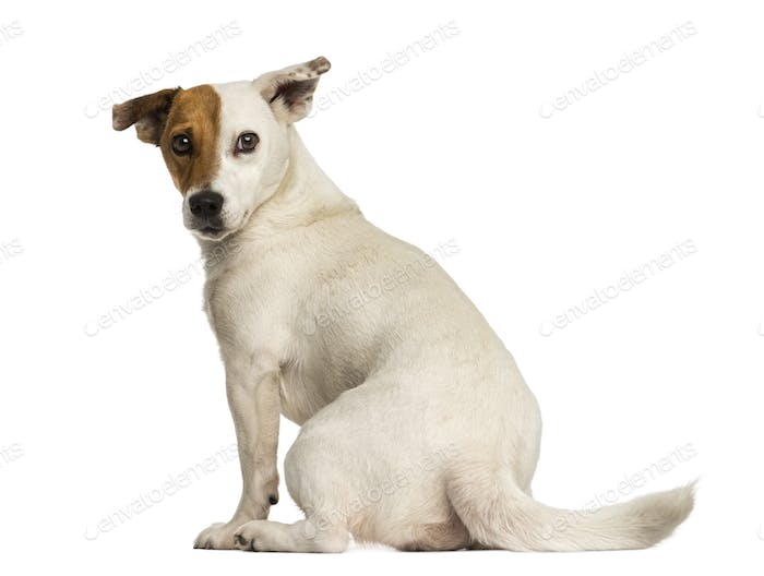 Rear view of a Jack russel terrier looking back, isolated on white