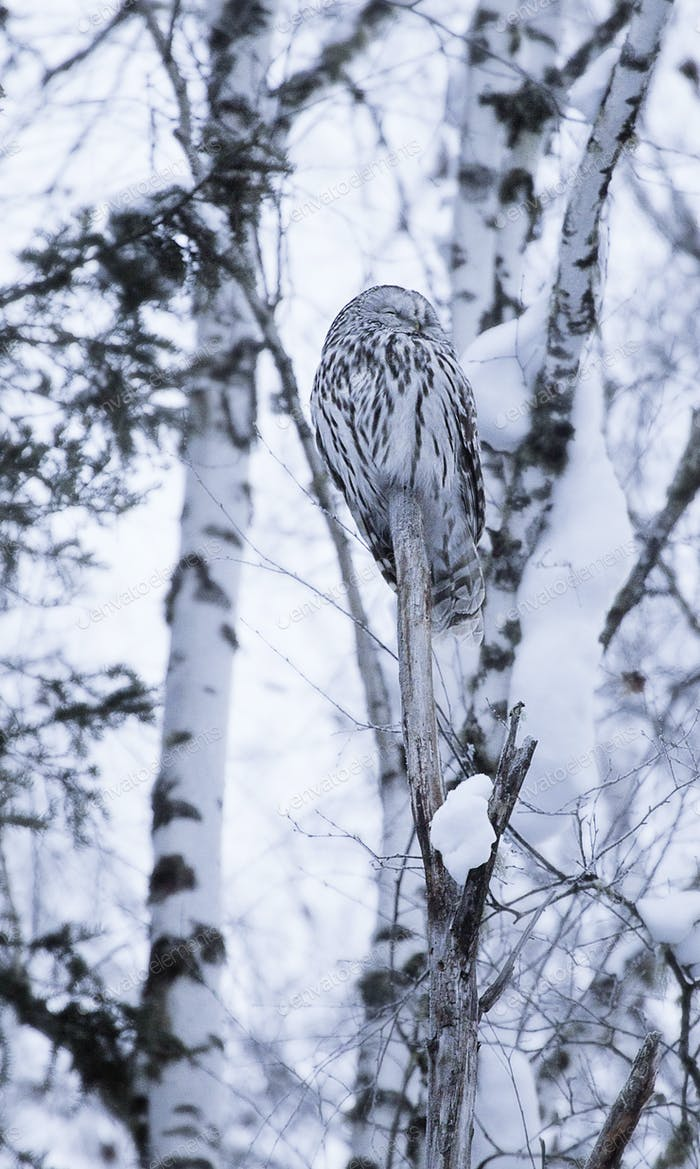 Ural owl in natural habitat - strix uralensis