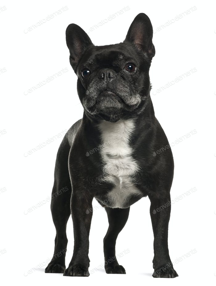 Thumbnail for French Bulldog standing against white background