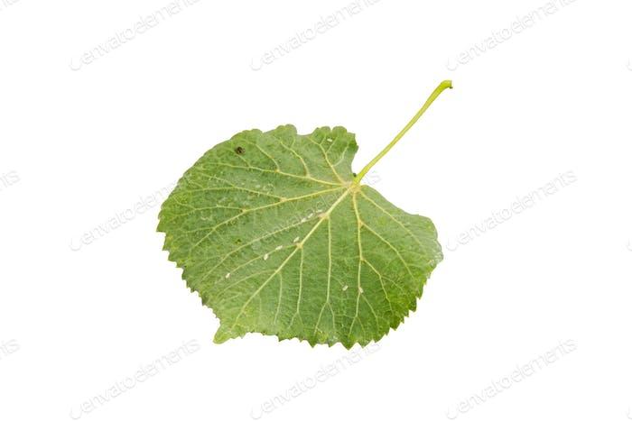 Underside linden leaf on a white background