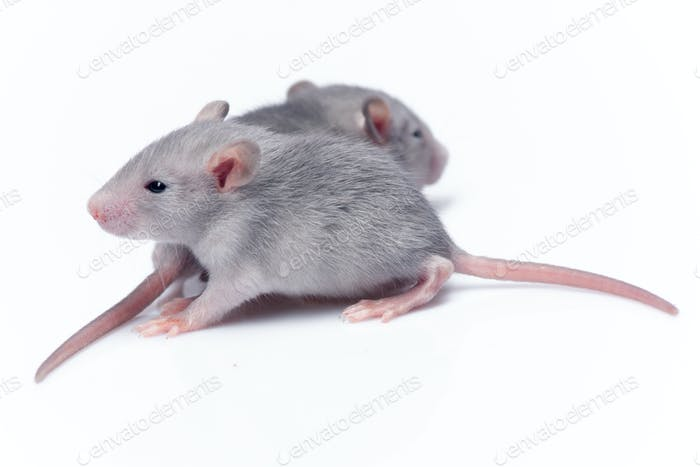 cute baby rats