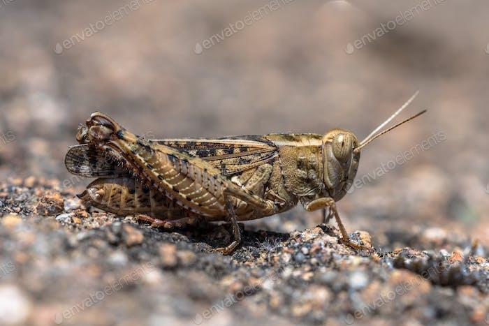 Eurasian Pincer Grasshopper