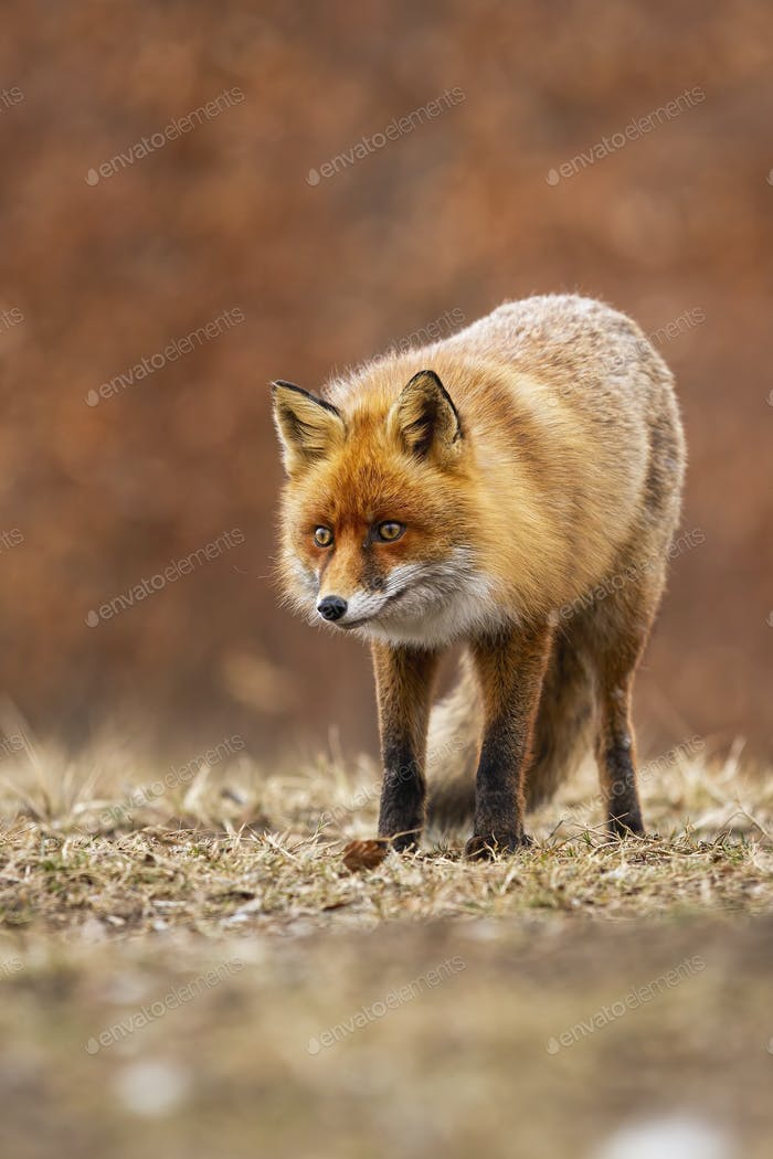 Alert red fox standing on meadow in autumn nature