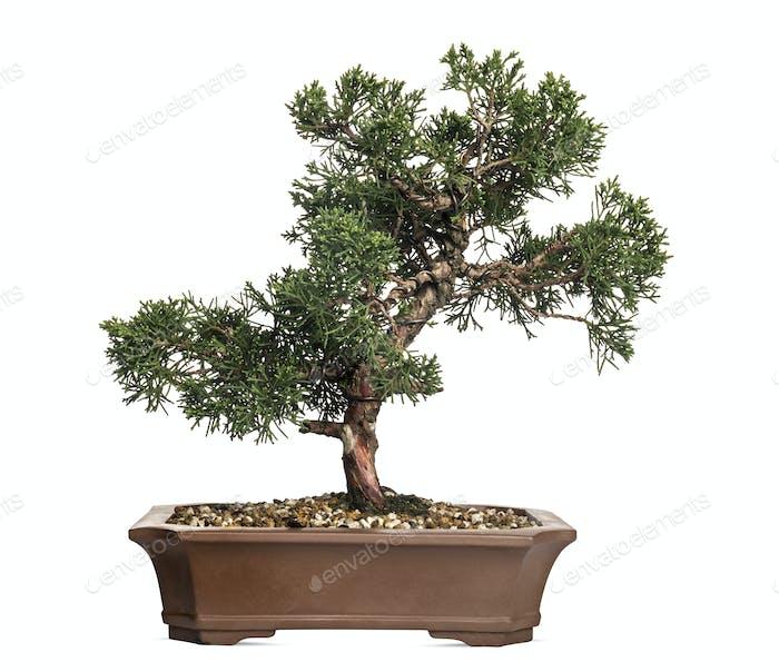Juniper bonsai tree, Juniperus, isolated on white