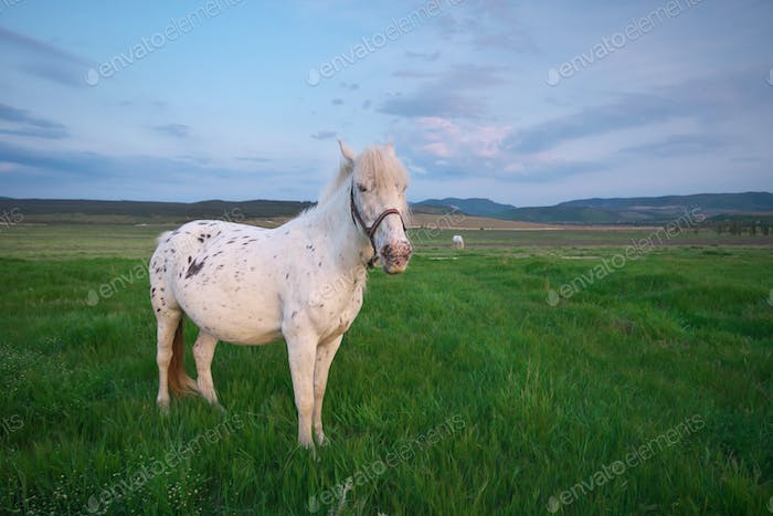 White horse on a green field