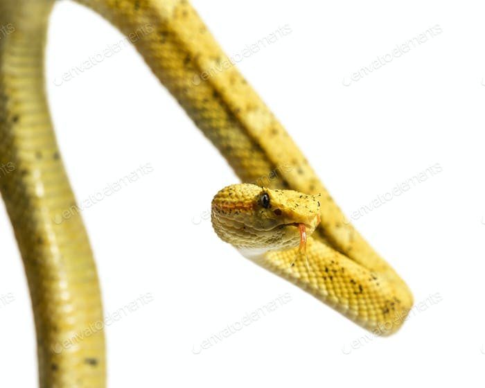 The eyelash viper, is a venomous pit viper looking at camera against white background