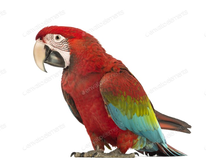 Green-winged Macaw, Ara chloropterus, 1 year old, in front of white background