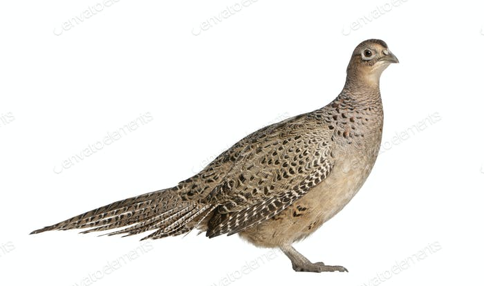 Portrait of Female Golden Pheasant or 'Chinese Pheasant', Chrysolophus pictus,