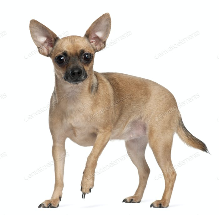 Pincher, 1 year old, standing in front of white background