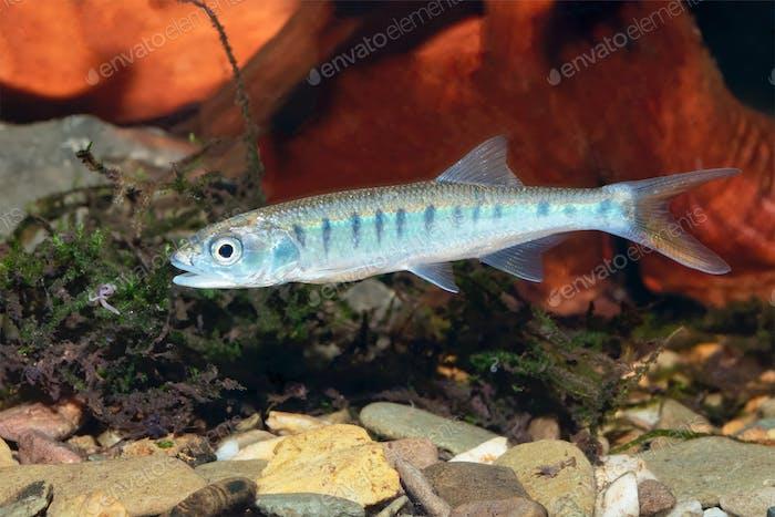 Senegal minnow Raiamas senegalensis in freshwater aquarium