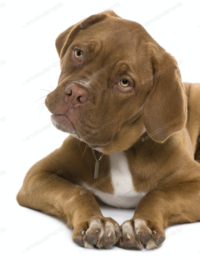 Dogue de Bordeaux puppy, 5 months old, lying in front of white background