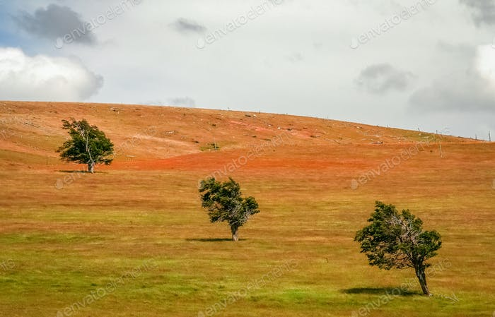 Three trees on a field
