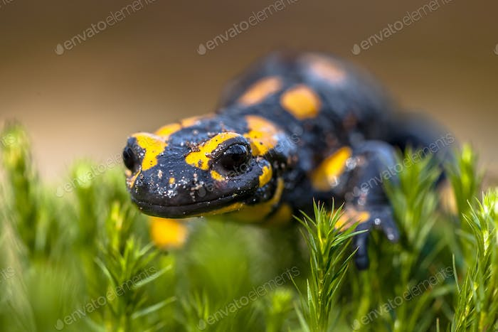 Fire salamander on moss