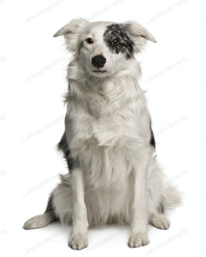 Border collie, 18 months old, sitting in front of white background