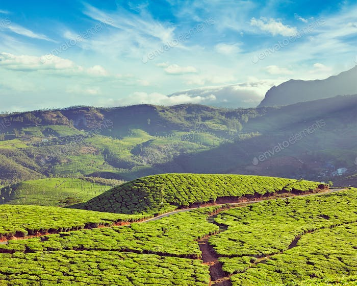 Green tea plantations in India