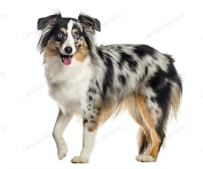 Mini Australian Shepherd, standing and panting (1 year old), isolated on white
