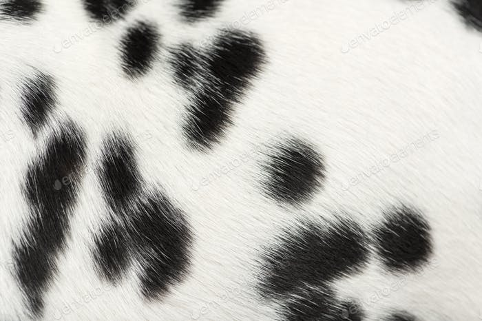 Macro of a Dalmatian puppy fur