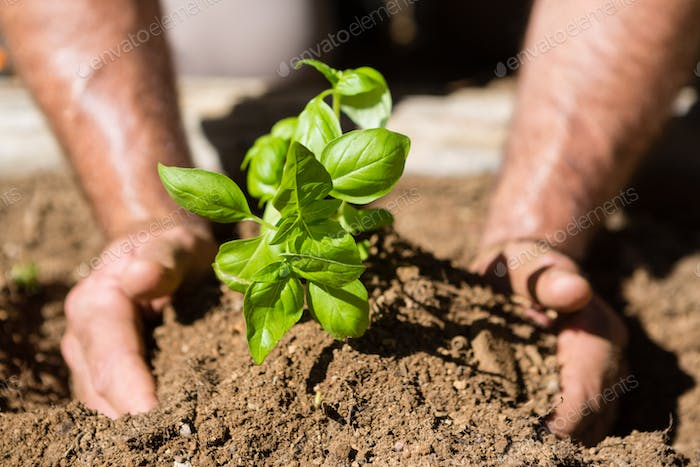 Close-up of man planting sapling in garden
