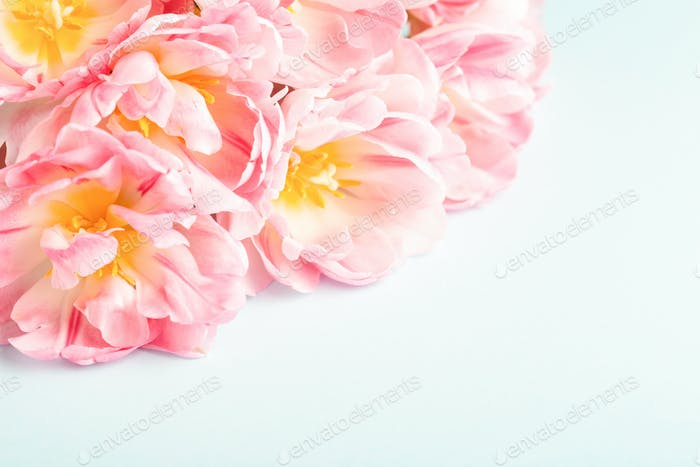 Pink Tulips on Blue Background. Spring card.