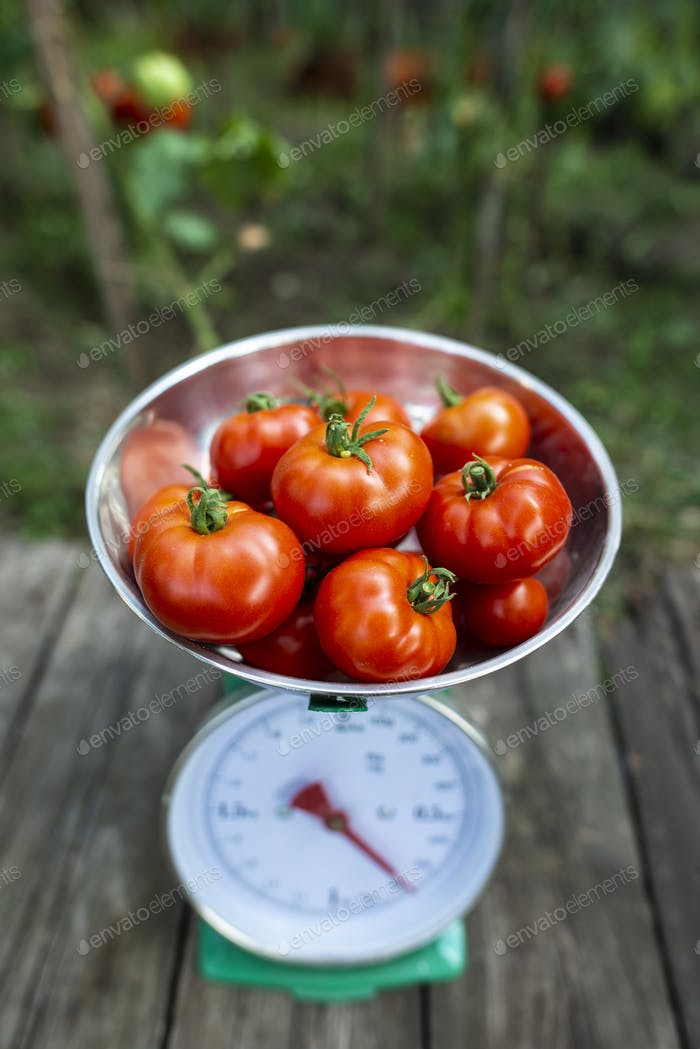Thumbnail for Tomatoes on scales in home organic garden.