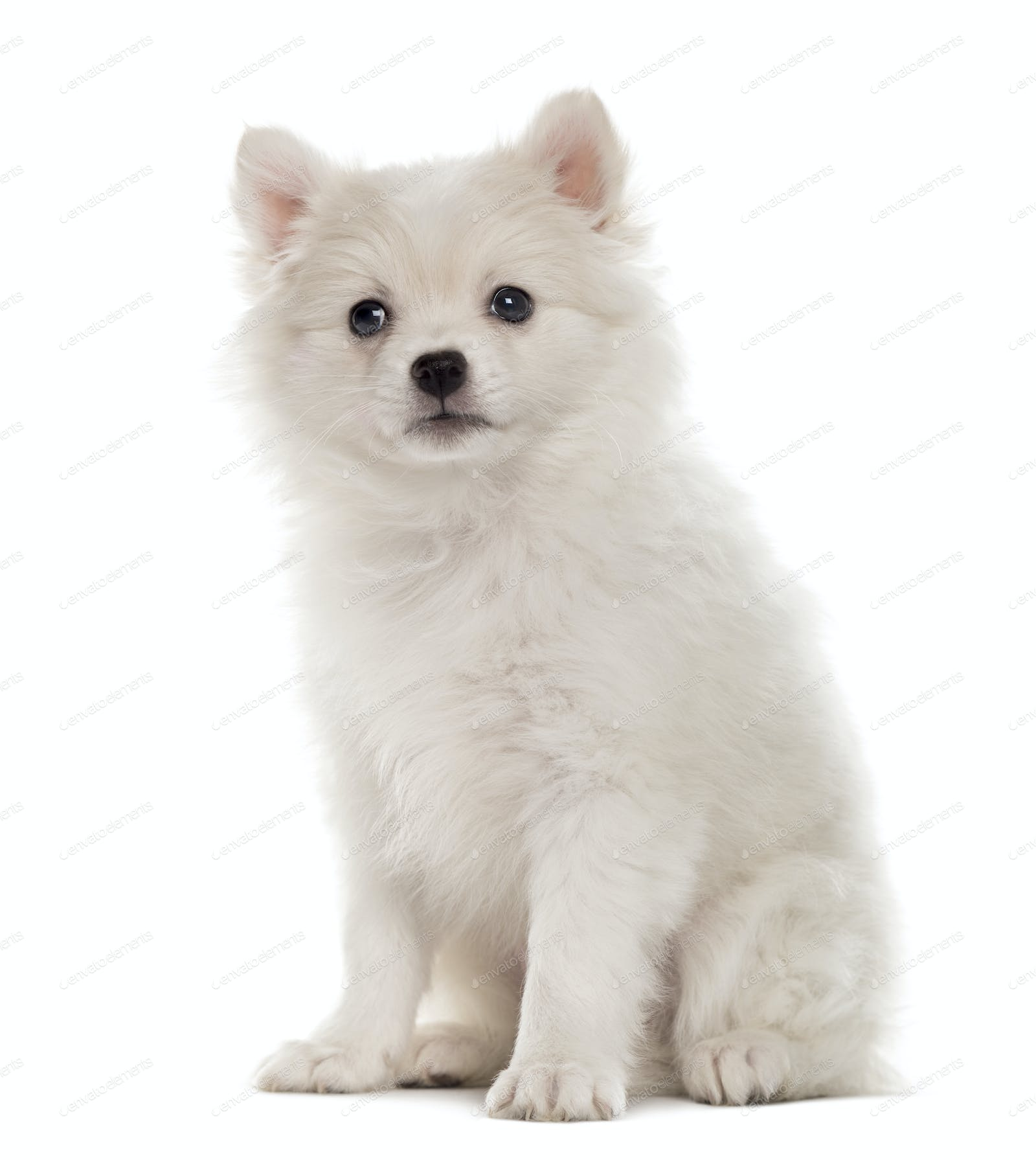German Spitz Puppy Looking At The